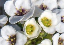 Kleine cluster van witte uiterst kleine bloemen op een kleine groene struik royalty-vrije stock afbeelding