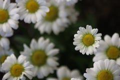Kleine Daisy Stock Foto