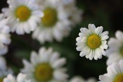 Kleine Daisy Royalty-vrije Stock Foto's