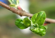 Kleine de bladerenmacro van Apple Royalty-vrije Stock Foto's