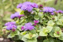 Kleine de grondbloem van Ageratumhoustonianum met purpere violette bloemen stock afbeeldingen