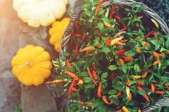 Kleine decoratieve peper in pot, gekleurde pompoenen voor tuin, pa Royalty-vrije Stock Foto's