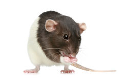 Kleine decoratieve rat Royalty-vrije Stock Foto