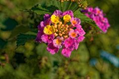Kleine die bloem van veelvoudige kleinere bloemen wordt gemaakt Stock Afbeelding