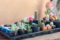 Kleine die cactus in containner wordt geschikt Stock Foto