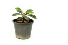 Kleine die cactus in pot op witte achtergrond wordt geïsoleerd Stock Foto