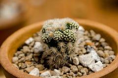 Kleine die cactus in potten wordt geplant royalty-vrije stock foto's