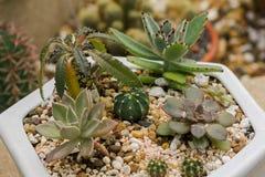 Kleine die cactus in potten wordt geplant royalty-vrije stock afbeelding