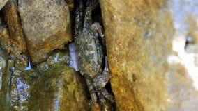 Kleine die krab in steen wordt verborgen stock video