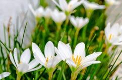 Kleine die margrietbloemen met benadrukte bloemblaadjes met zijaanzicht worden gegroepeerd royalty-vrije stock foto