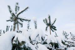 Kleine die pijnboombomen in sneeuw worden behandeld Royalty-vrije Stock Foto's