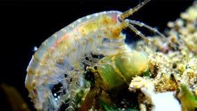 Kleine die schaaldier van de soort Gammarus, door kleine Actinia wordt gevangen - een lineata van invallerdiadumene stock video