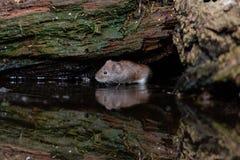 Kleine die veldmuis onder rottend hout wordt gebogen royalty-vrije stock afbeeldingen