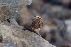 Kleine die vogel op rots wordt neergestreken Stock Foto's