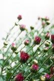 Kleine donkerrode chrysantenknoppen op witte achtergrond in mild licht royalty-vrije stock fotografie