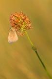Kleine Dopheide (Coenonympha-pamphilus) op de zon Stock Foto