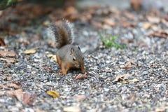 Kleine Douglas-Eichhörnchen stockbild