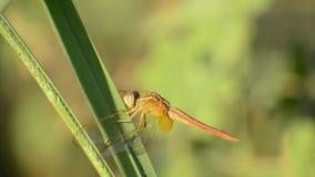 Kleine draakvlieg op gras groen blad bij zonsonderganglicht stock video