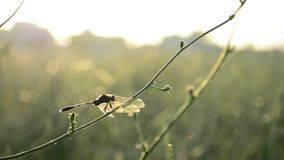 Kleine draakvlieg op groene tak bij zonsonderganglicht stock videobeelden