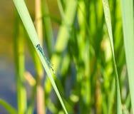 Kleine Drachefliege auf einem Grasstroh Stockfotos