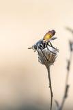 Kleine droge vlieg tweekleurige bloem Stock Foto