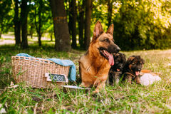 Kleine Duitse herders Stock Foto's