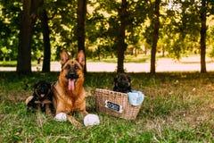 Kleine Duitse herders Stock Foto