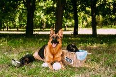 Kleine Duitse herders Royalty-vrije Stock Afbeeldingen