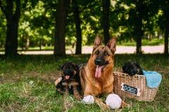 Kleine Duitse herders Stock Fotografie