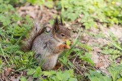 Kleine eekhoorn Royalty-vrije Stock Afbeeldingen