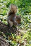 Kleine eekhoorn dichtbij de boom in het park Stock Foto's