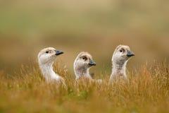 Kleine eend drie Witte vogel met lange hals Witte gans in het gras Witte vogel in het groene gras Gans in het Gras Wilde wh stock foto