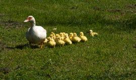 Kleine eendjes met hun moeder Stock Foto