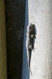Kleine Eidechse Stockfotos