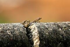 Kleine Eidechsen auf einer gebrochenen Steinwand stockfotos