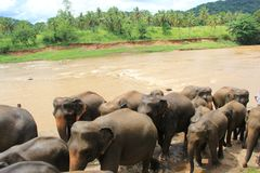 Kleine Elefanten im Teich Sri Lanka Lizenzfreies Stockfoto