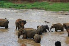 Kleine Elefanten im Teich Sri Lanka Stockfotografie