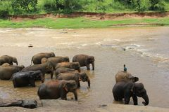Kleine Elefanten im Teich Sri Lanka stockbilder