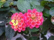 Kleine empfindliche Blumen Lizenzfreies Stockfoto