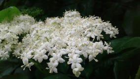 Kleine empfindliche Blumen der Holunderbeere malten wei? stockfotografie