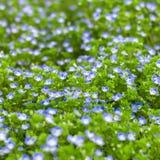 Kleine empfindliche Blumen Veronica Lizenzfreie Stockfotos