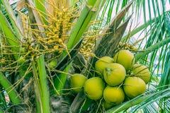 Kleine en grote vruchten van kokosnoot op palm stock foto