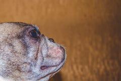 Kleine en zwart-witte spotty hond Ras van Kan Corso, Franse buldog Mooie en gerimpelde snuit en roze neus Huisdier royalty-vrije stock afbeeldingen