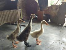 Kleine Ente drei Lizenzfreie Stockfotos
