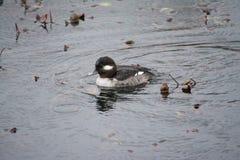 Kleine Ente im Regen Lizenzfreie Stockbilder