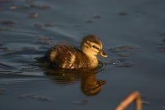 Kleine Ente von Woudrichem Stockfoto