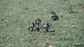 Kleine Enten, die Gras essen stock video footage