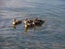 Kleine Entlein, die in einer Gruppe schwimmen lizenzfreies stockfoto