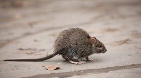 Kleine erschrockene schmutzige graue Maus Stockfotografie