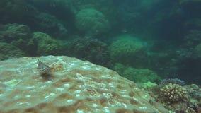 kleine ertsadervissen op een koraalhoofd stock video